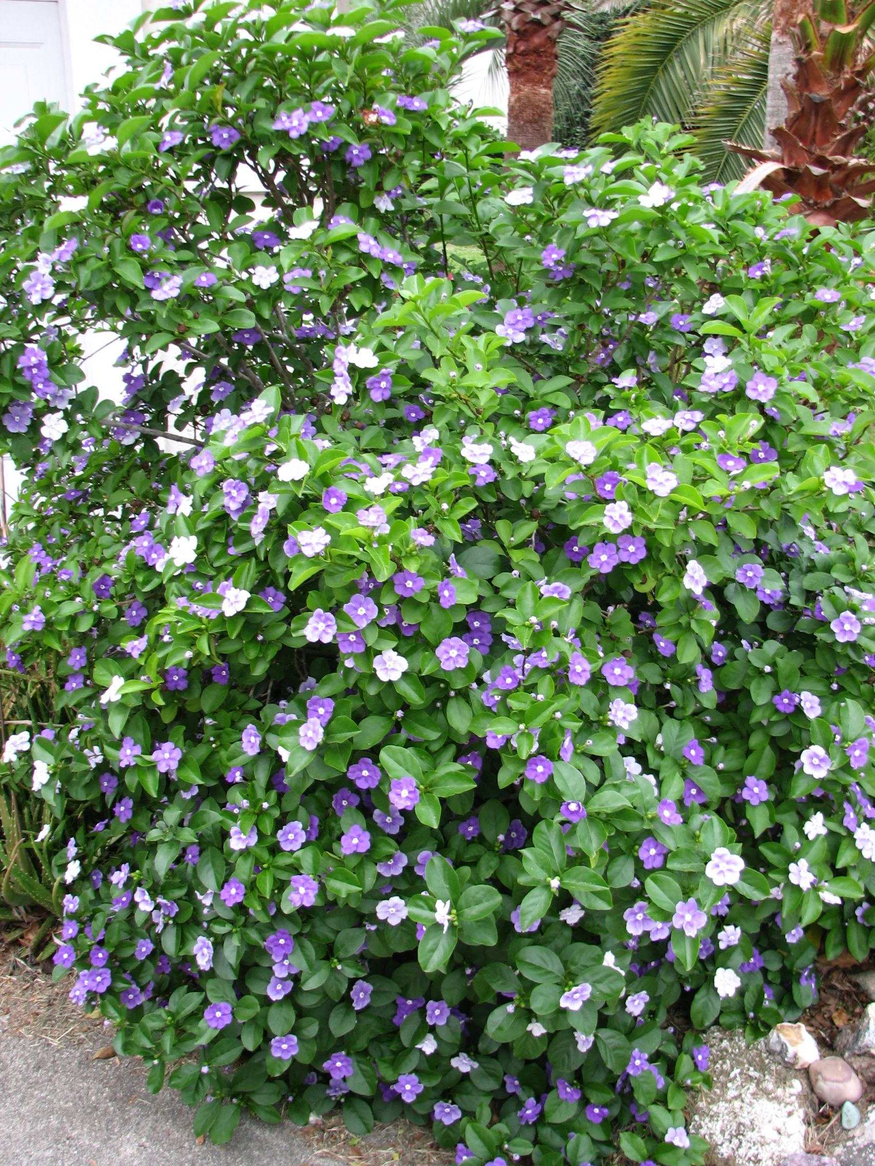 The Yesterday Today And Tomorrow Plant Brunfelsia Is A Tropical Native To Brazil Its Lush Green Foliage Accented With Unique Blooms That Change