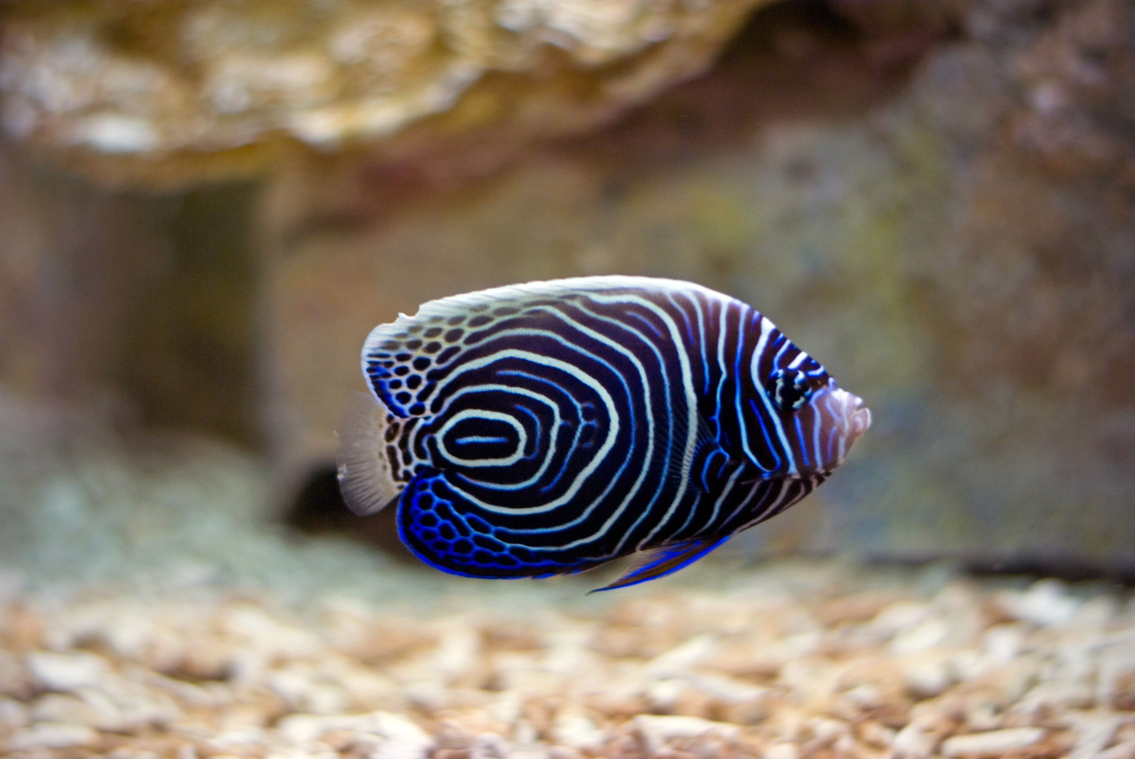Fish angel fish fish and tropical fish for Blue saltwater fish