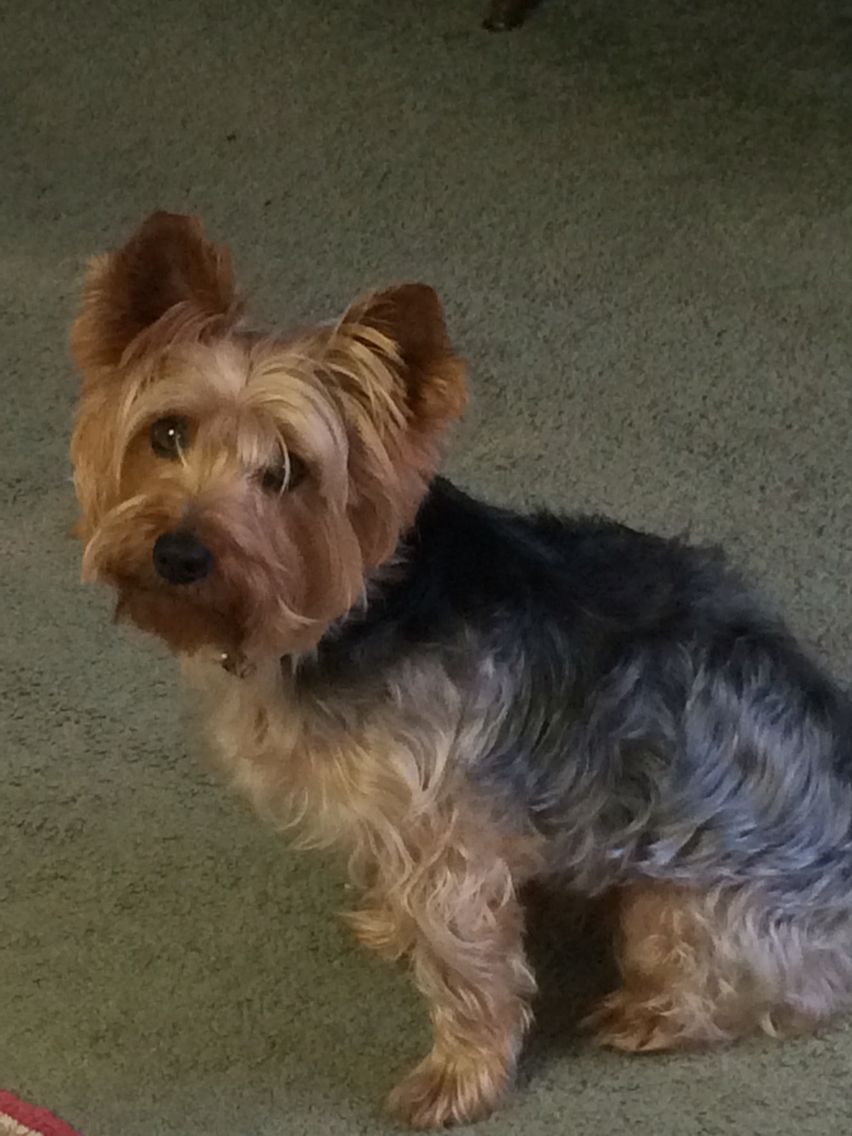 My Stanley he is 15 pounds and so smart. Yorkie, Animals
