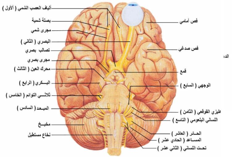 Pin By Chemistry On الحيوية In 2021 Peripheral Nervous System Nervous System Nervous