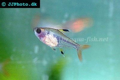 Pristella Maxillaris X Ray Tetra Tetra Fish Tropical Fish