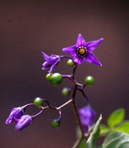 Ohio Weedguide Purple Flowers Green Fruit Garden