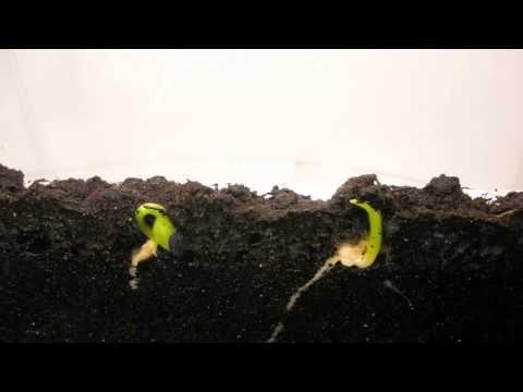 Sunflower And Corn Seed Germination Youtube Gardening