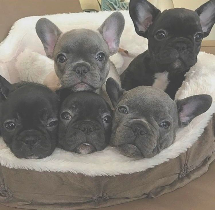Pin By Nataliealeavitt On Animals French Bulldog Puppies Cute Animals Bulldog Puppies