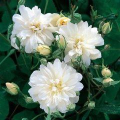 Remonterende, hvit slyngrose.!Den er plantet i hagen i høst! Spennende! Snow Goose - David Austin Roses