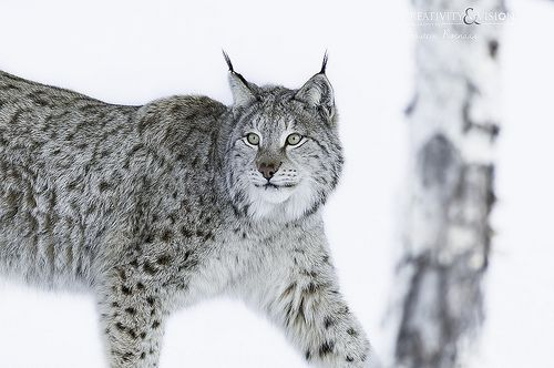 Lynx lynx and eurasian lynx lynx genus recent photos the commons getty collection galleries world map app gumiabroncs Image collections