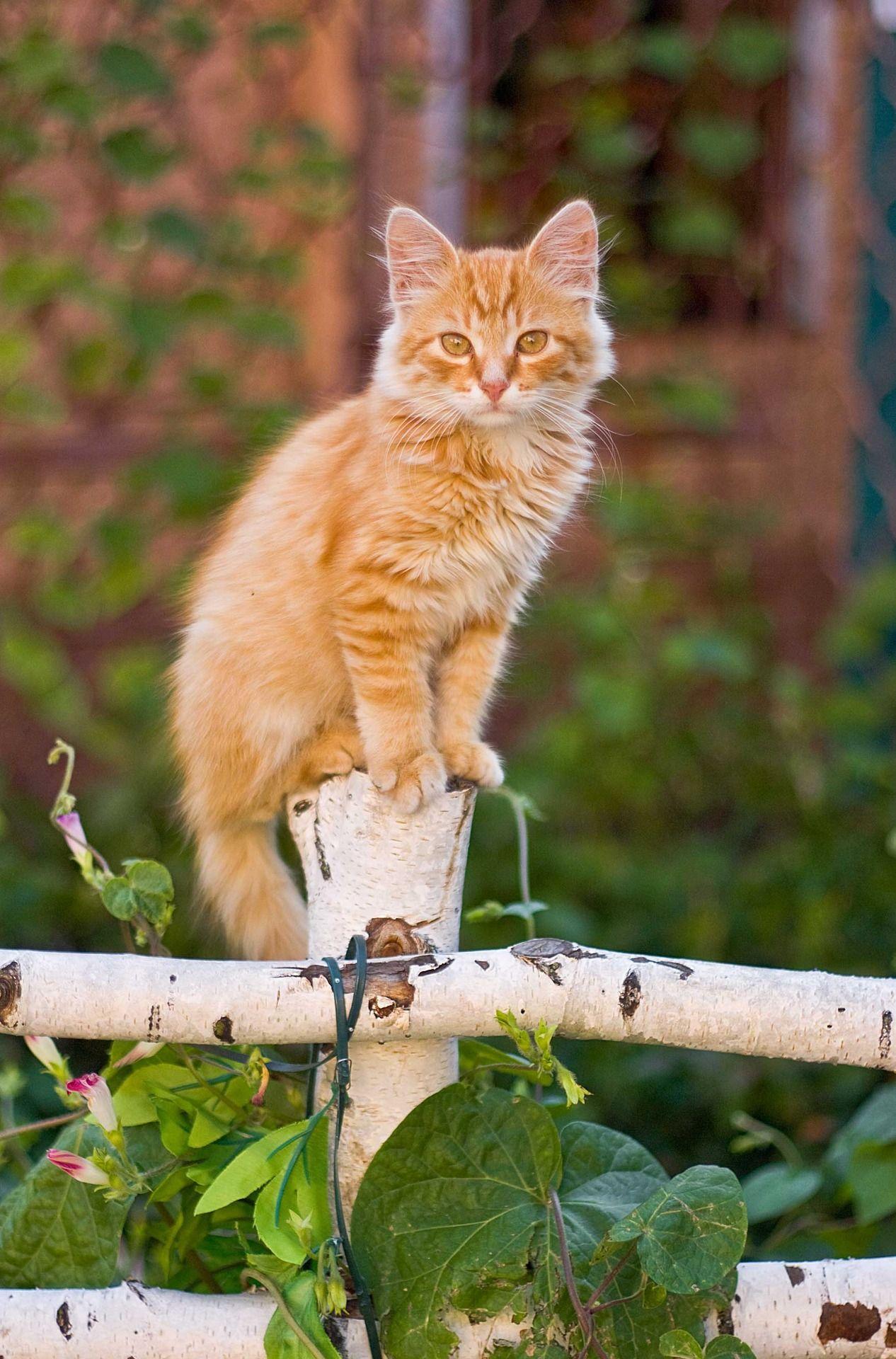 orange Katze mit orangen Augen auf Birkenzaun #gingerkitten