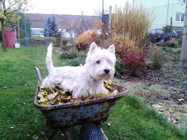 Kubik In The Garden Westie Dogs Westie Puppies Westie Terrier