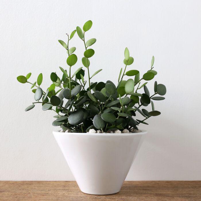 Xerosicyos Danguyi Rare Silver Dollar Vine Plant