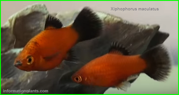 سمكة البلاتي Southern Platyfish سمك زينة انواع الاسماك انواع الاسماك مع الصور معلوماتية نبات حيوان اسماك فوائد Fish Pet Pets Fish