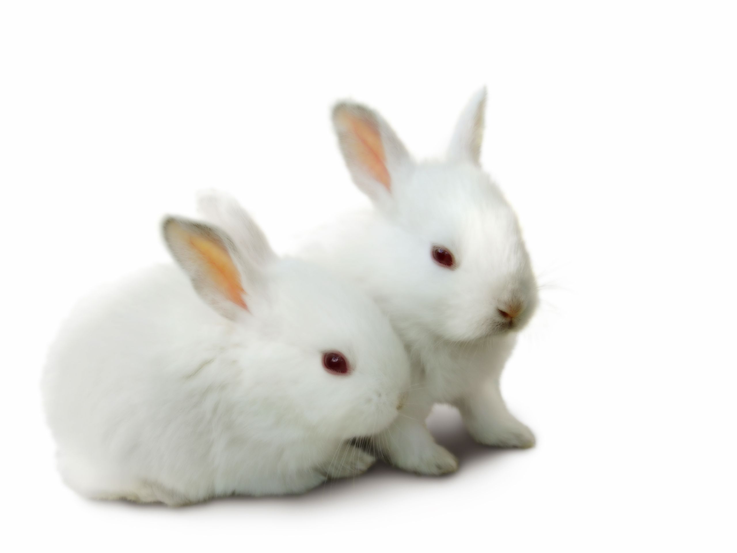 Cute Rabbit HD Beautiful Wallpapers Picture Free For Desktop