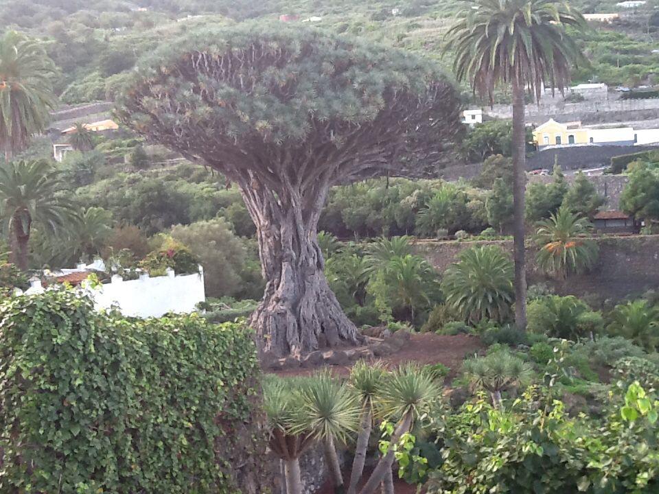 Drageblodstræet på Tenerifa