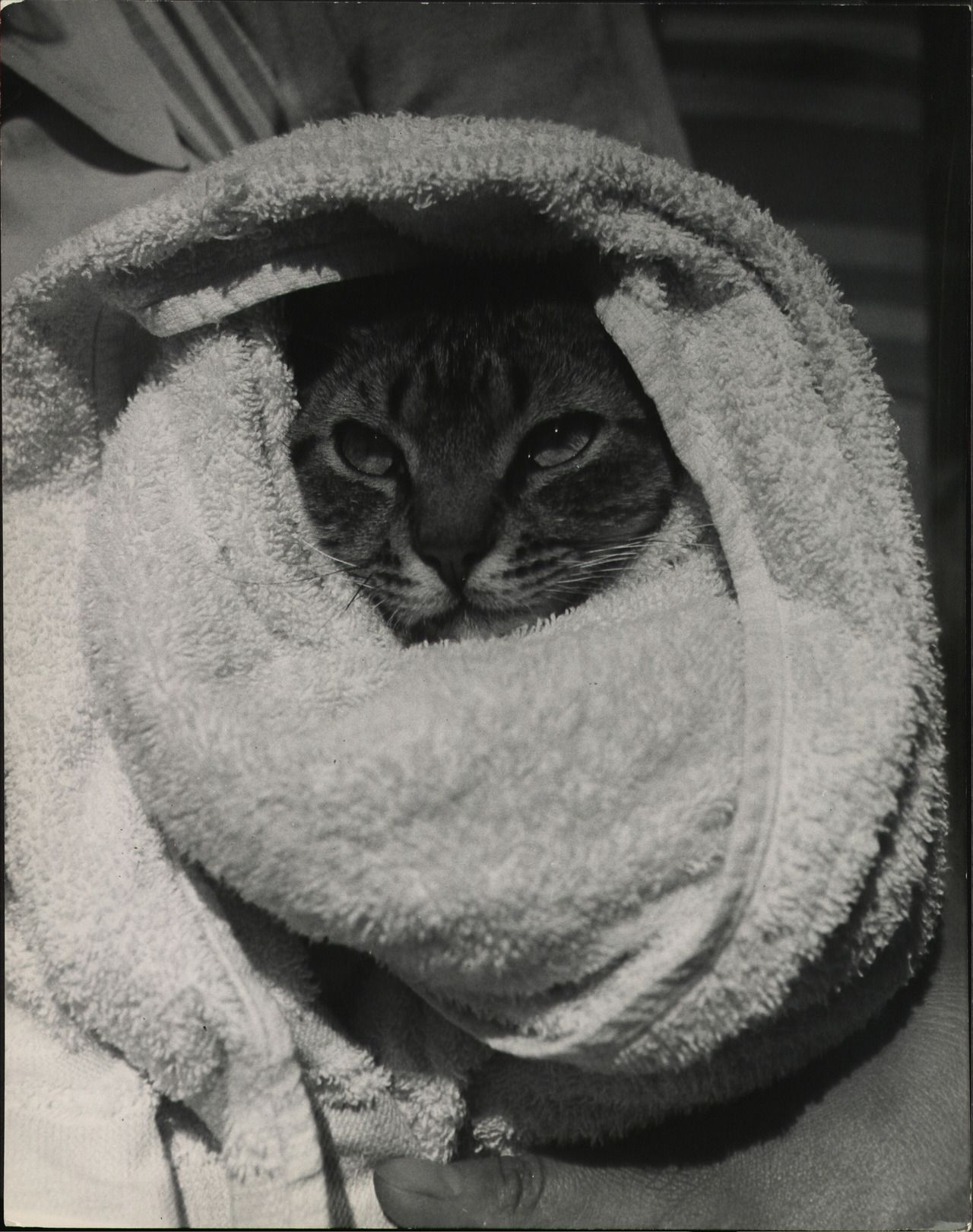 """Cat in a towel. (titled in the archive as """"cat going swimming""""). Photo by Nina Leen for LIFE. S)"""