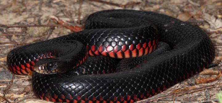 Red Bellied Black Snake Pseudechis Porphyriacus Red And Black Snake Australia Animals Snake