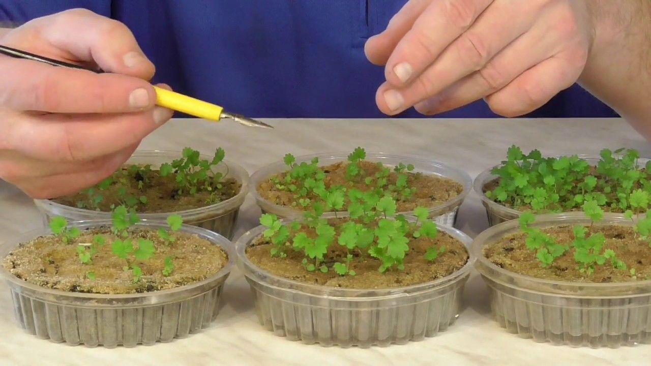 сколько времени прорастает клубника из семян