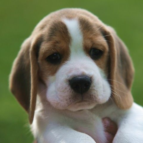 FileBeagle puppy portrait.jpg Wikipedia, the free