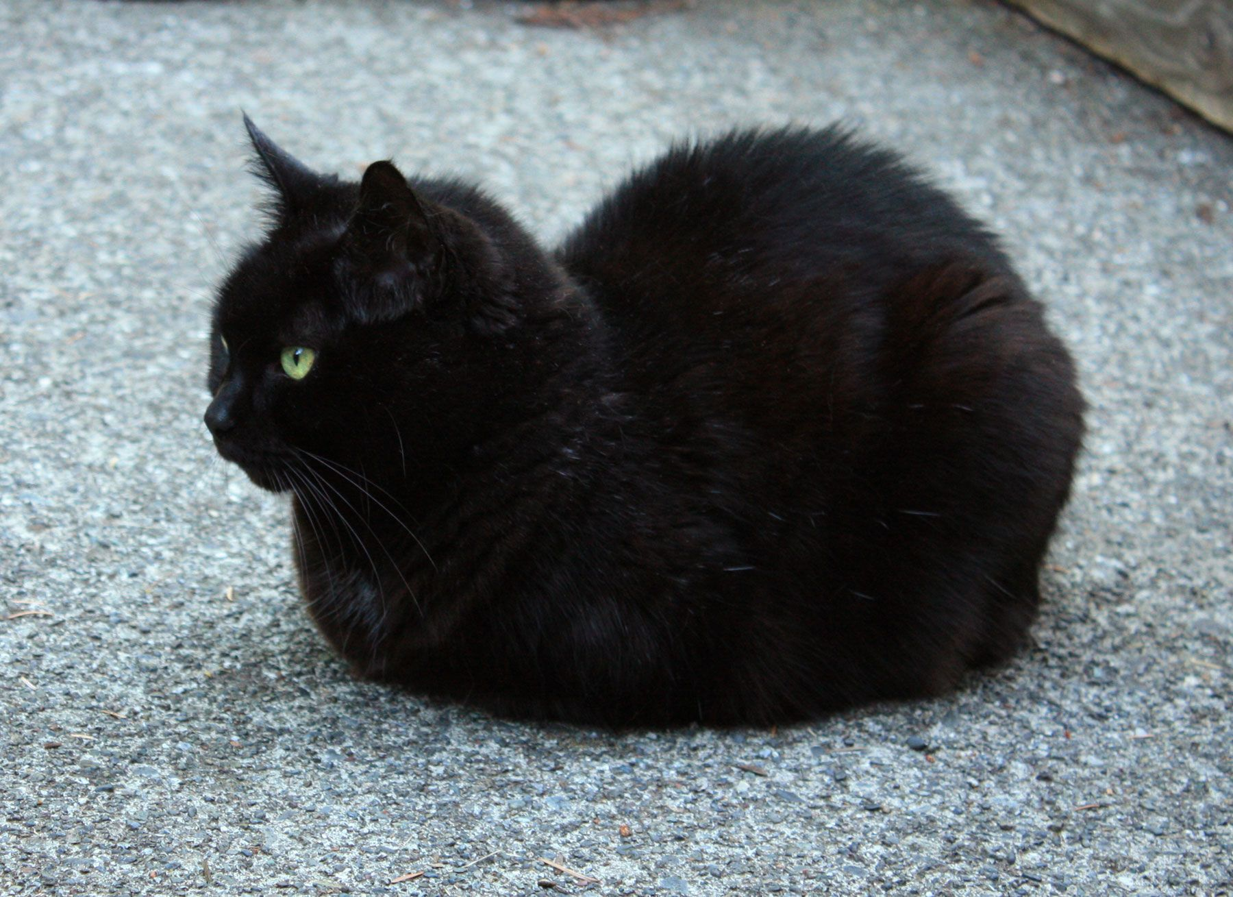 Black Loaf cats, Ragdoll kittens for sale
