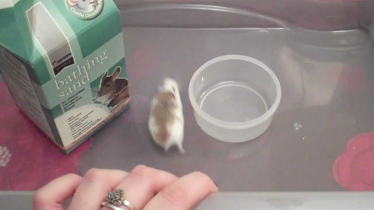 How To Give Your Hamster A Sand Bath Tips Hamster Sand Bath Hamster Baby Hamster
