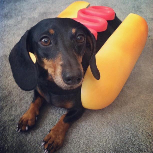 Well Hot Dog Dachshund Pets Weiner Dog Dachshund Lovers