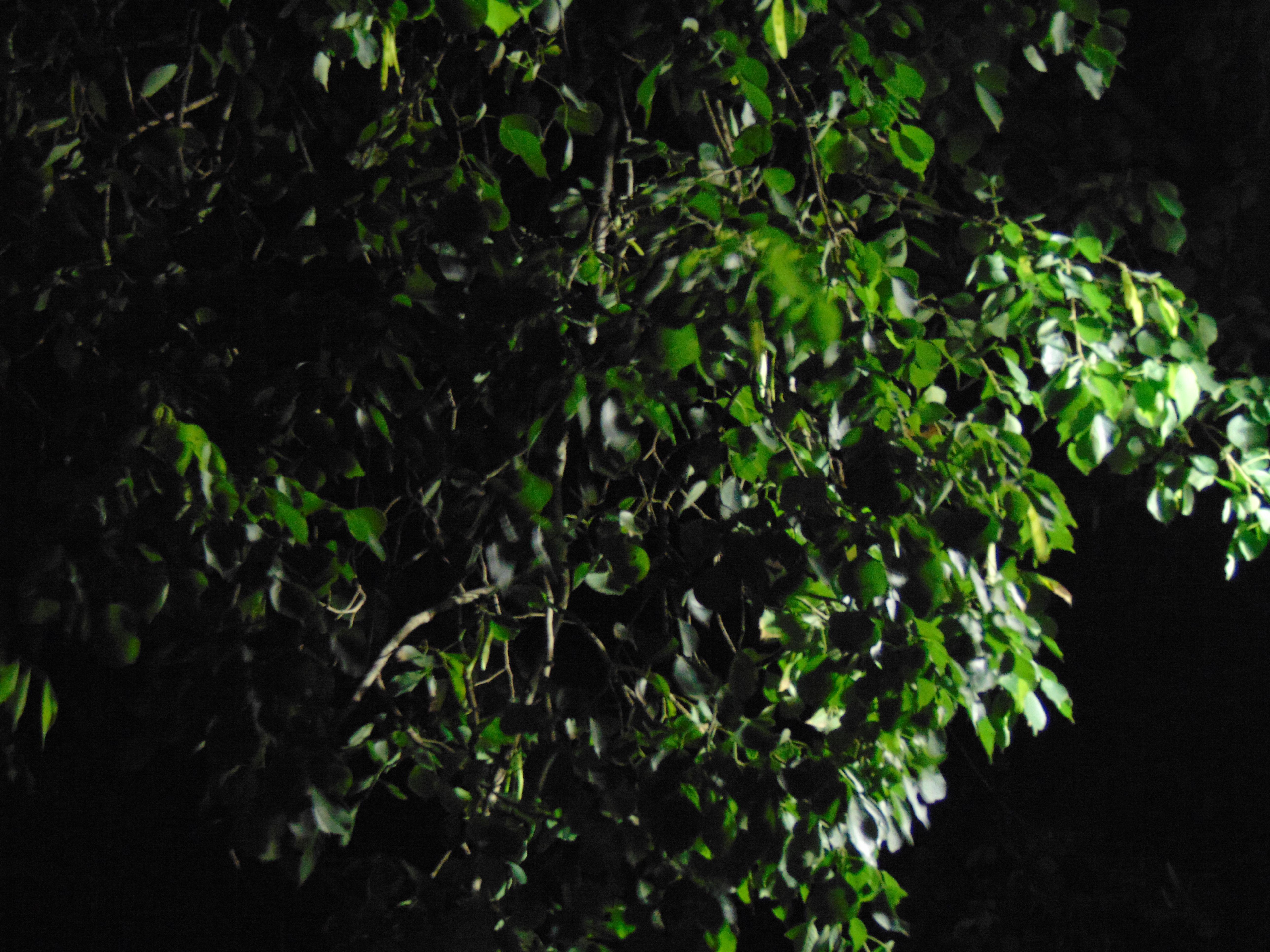 Kolkata Street Tree