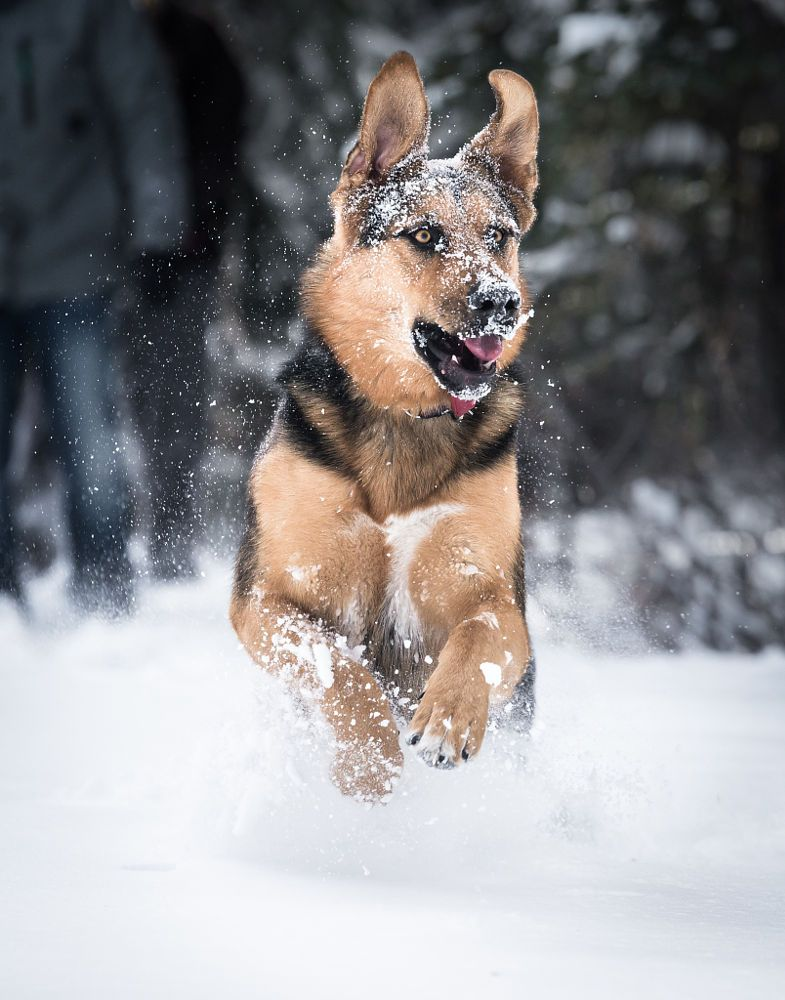German Sheppard in the snow by Alex Lebrun on 500px