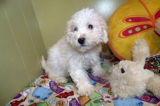 Cavachon Puppy For Sale In Paterson Nj Adn 49206 On Puppyfinder Com Gender Male Age 9 Weeks Old Cavachon Puppies Puppies For Sale Cavachon