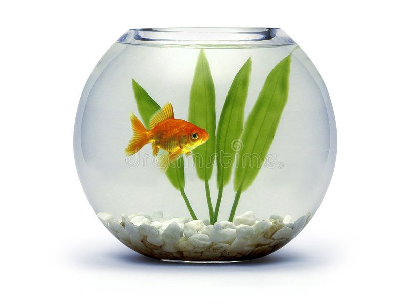 Goldfish Bowl With Rocks And Plant Spon Bowl Goldfish Plant Rocks Ad Goldfish Bowl Goldfish Goldfish Types
