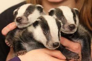 baby badgers