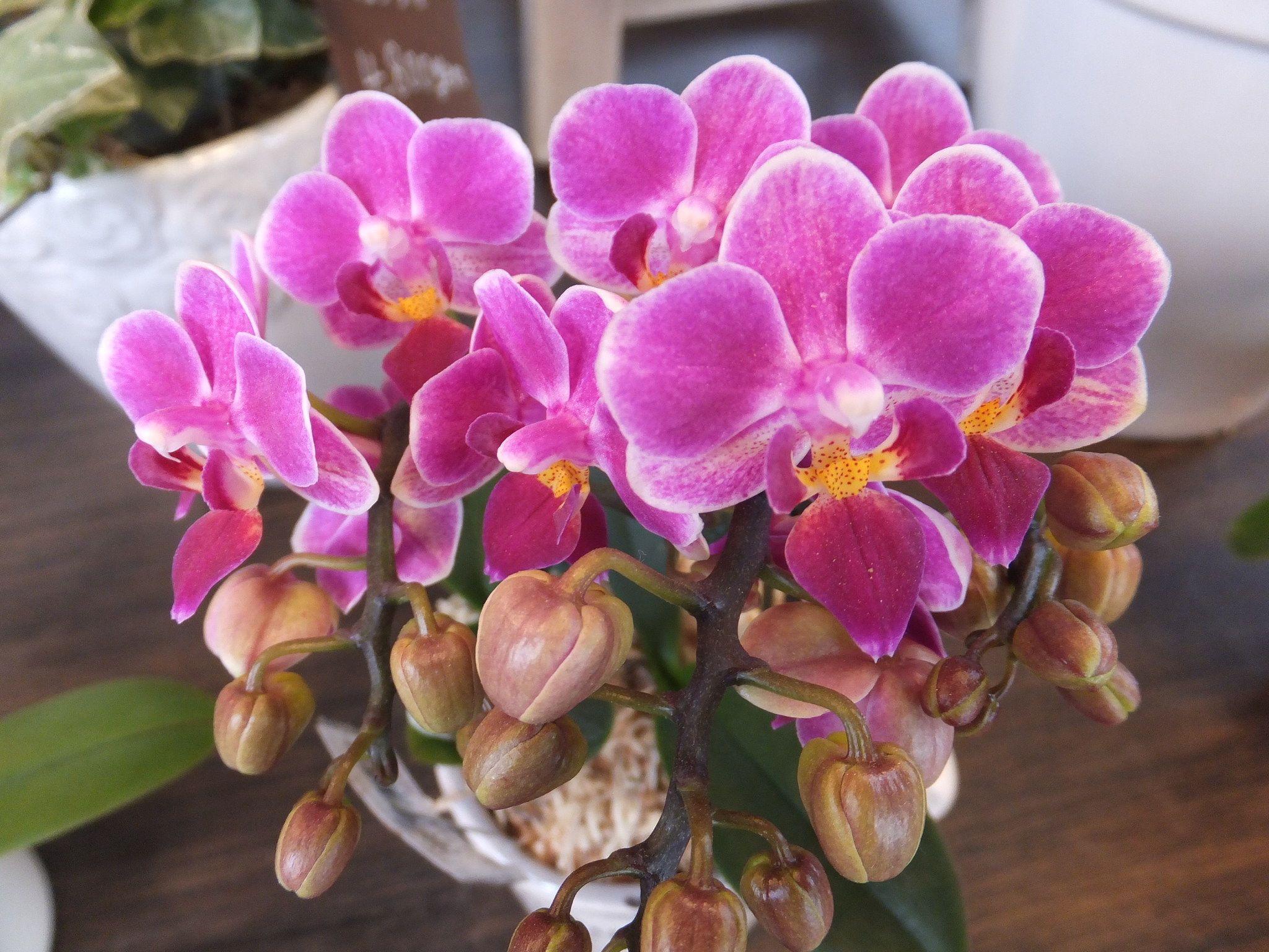 Japanese taste orchid