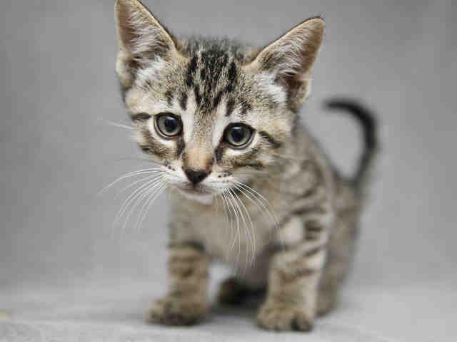Adopt a Cat from AHS! Cat adoption, Kitten adoption, Cats