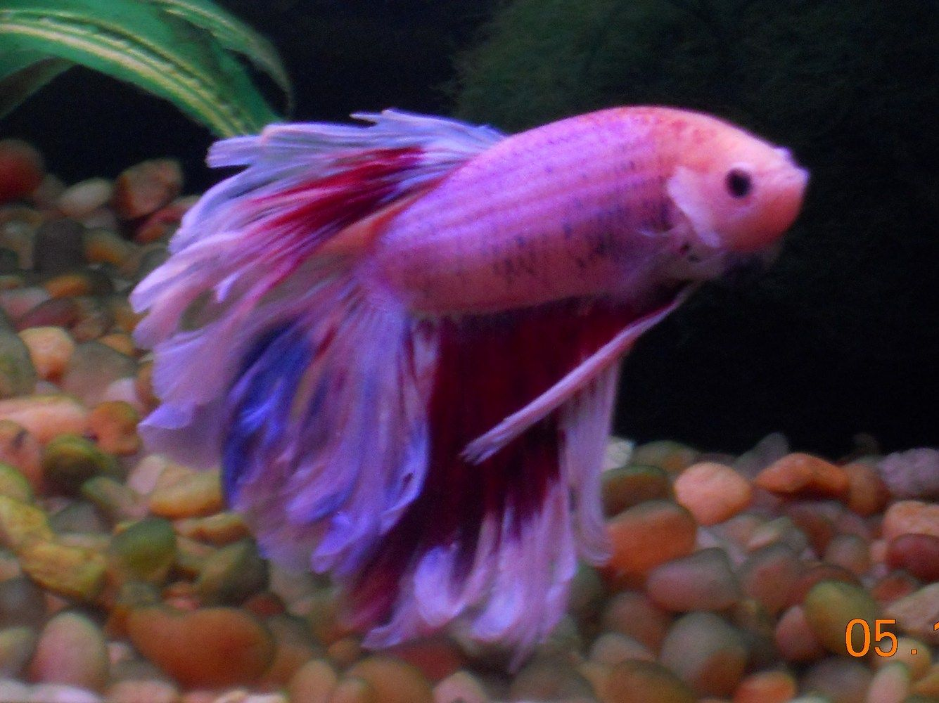 Funny my betta changes colors does yours 87785 for Betta fish colors