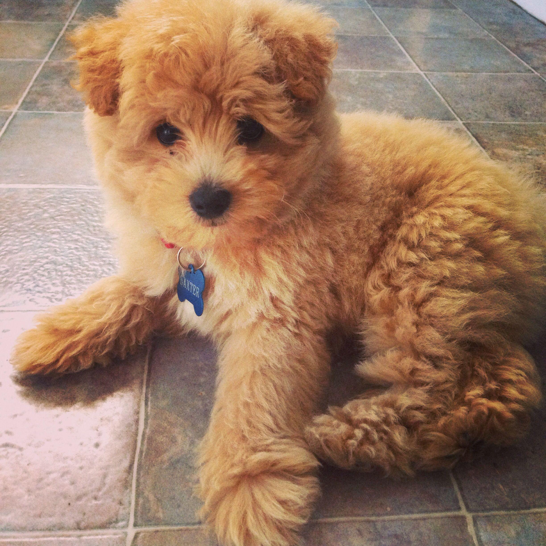 Beautiful pup spitz poodle Pet Board Pinterest