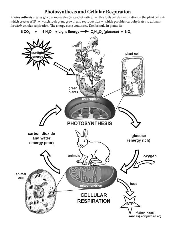 Learn more about Cellular Respiration on Exploringnature
