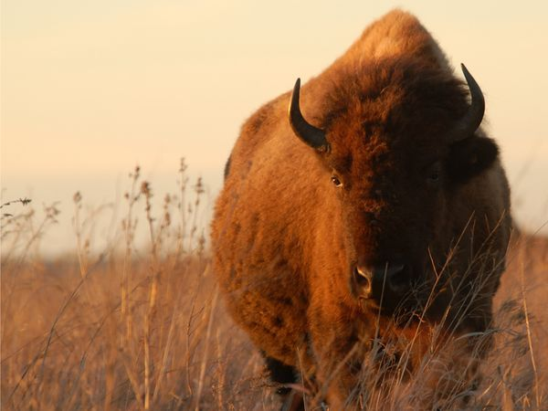 American Bison    Photograph by Lela Bouse-McCracken, Your Shot    An American bison stands in a field on the Tallgrass Prairie Preserve in Oklahoma. The preserve, maintained by the Nature Conservancy, is the largest preserved portion of what was once 140 million acres (362.5 million hectares) of grassland in the American Midwest. There are about 2,500 American bison, which were once hunted to a few hundred animals, roaming the preserve.