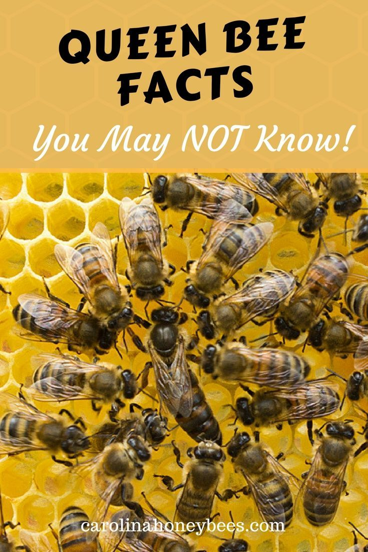 7 Queen Bee Facts: That Will Amaze You | Bee facts, Bees and Beekeeping