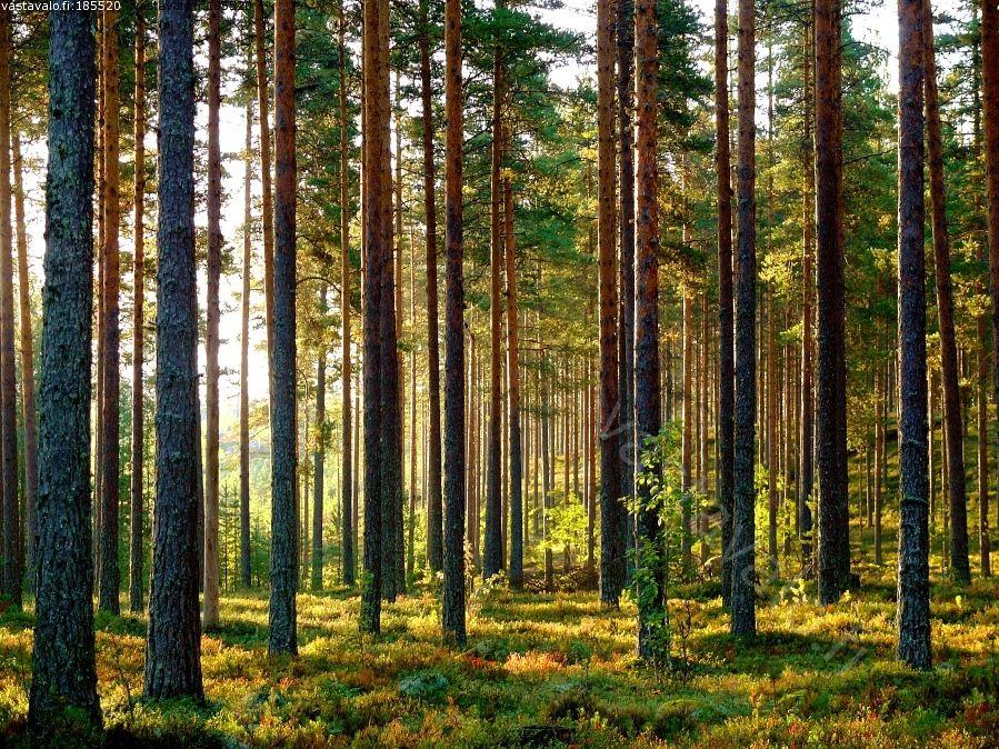 Kaunis mäntymetsä - metsä mäntymetsä kuivahko kangasmetsä puolukkatyyppi aamu aamuaurinko kaunis kesäaamu mänty männikkö harjumetsä harju Lintikko Lintikonharju pinus silvestris