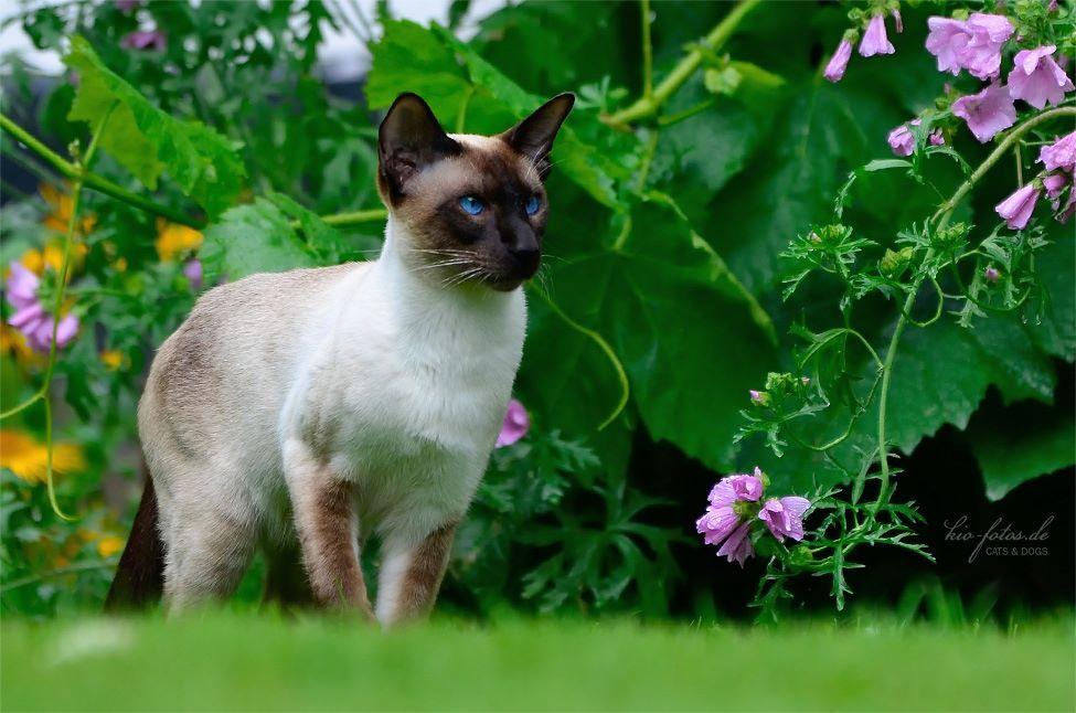 Kio Fotos Cute Animals Animals Wild Tonkinese Cat