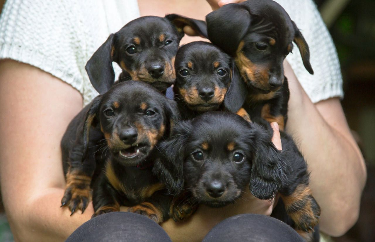 Handsomedogs Justin The Brood Cute Dogs Breeds Dachshund