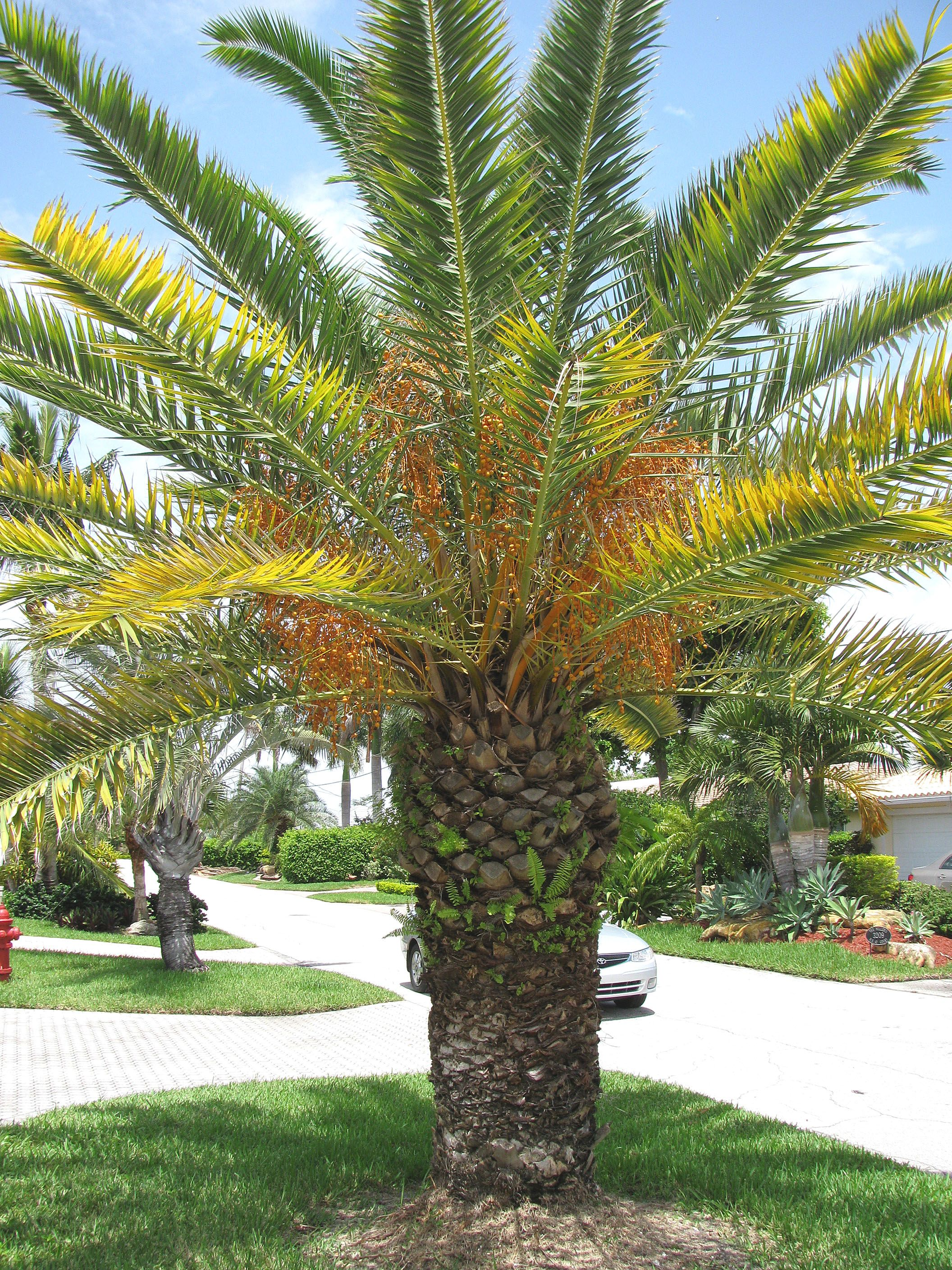 Pflanzen Volle Sonne Canary Island Date Palm Tree Palms Pinterest