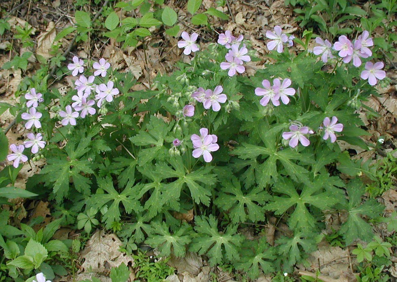 what is a geranium plant