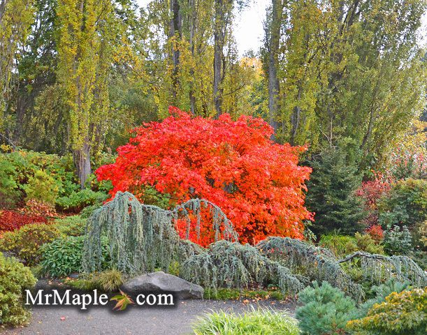 Focal Point Planting Garden Design Japanese Maples garden2