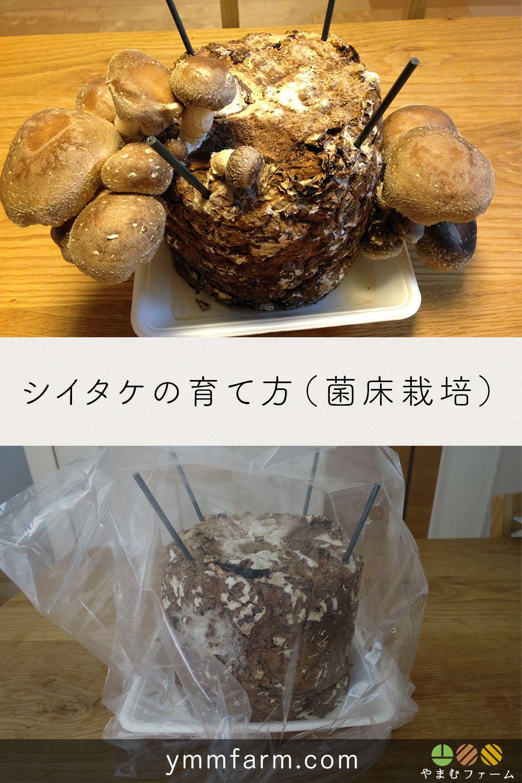 栽培 シイタケ