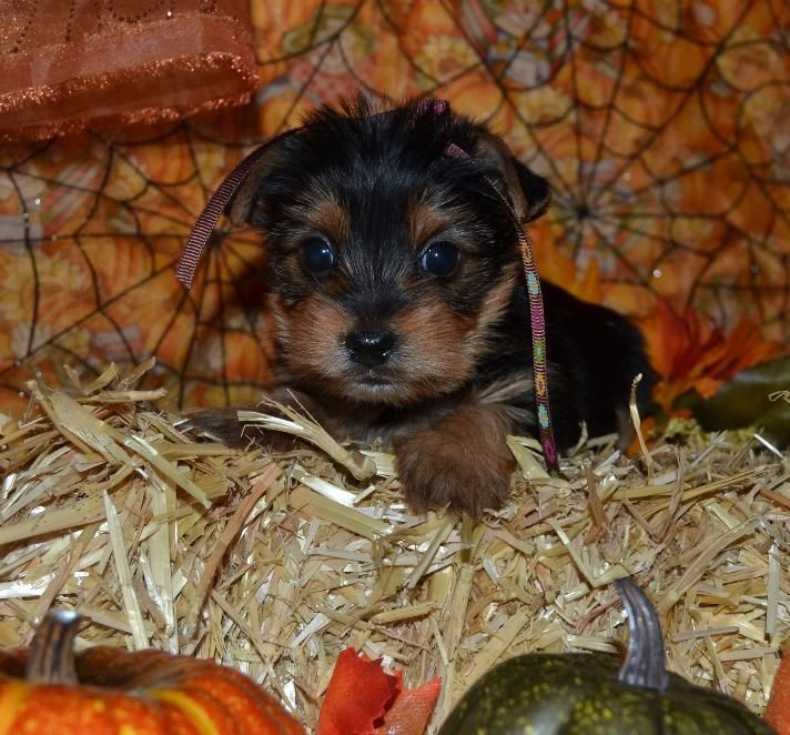 Shimmertime Yorkies Yorkshire Terriers For Sale Toy Pet Puppies