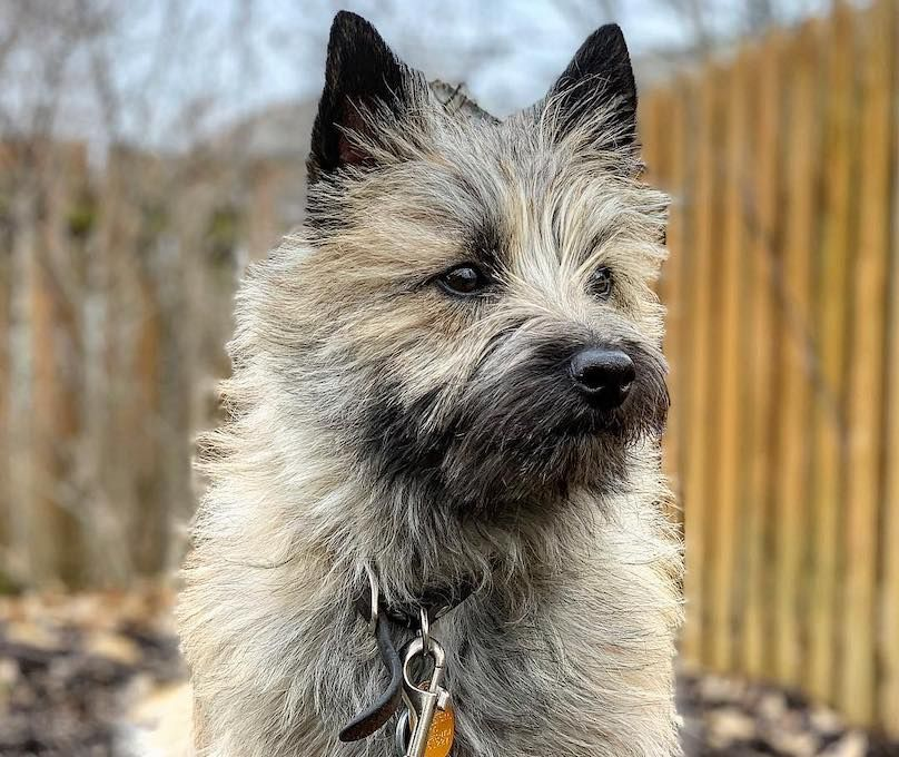 Cairn Terrier Breed Information Guide Quirks, Pictures