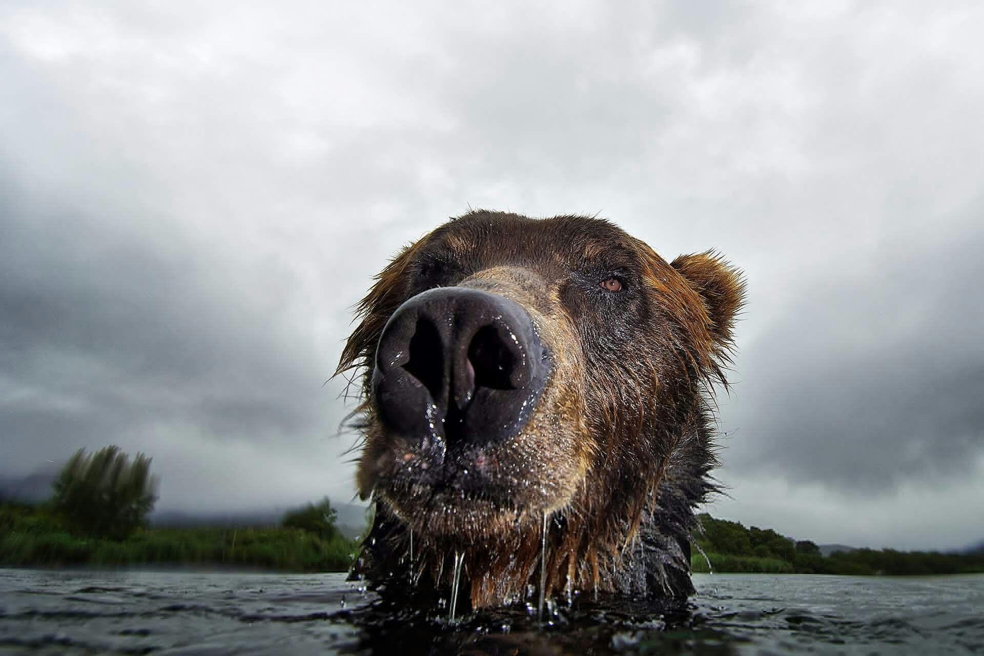 Russia. Kamchatka. Kuril Lake. Bear. Thank Kronotsky ...