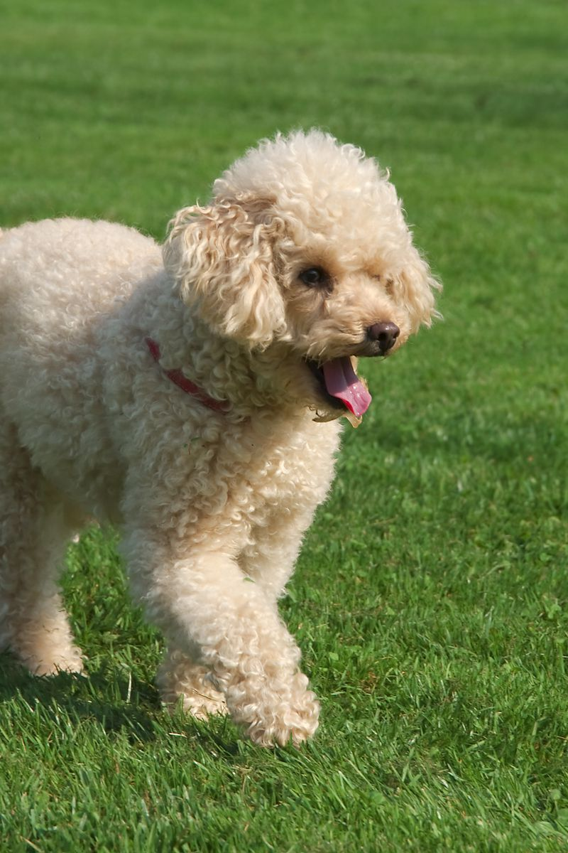 35 Small Dog Breeds That Make for Perfect Companions | Dog breeds, Small  dog breeds, Dogs