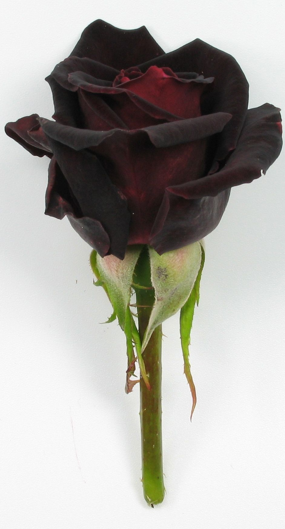 the black rose the very nature of black the 200 pcsbag rose seeds perennial plant flower seeds rare sundry rose petals for home garden bonsai pot black rose easy to grow buycottarizona