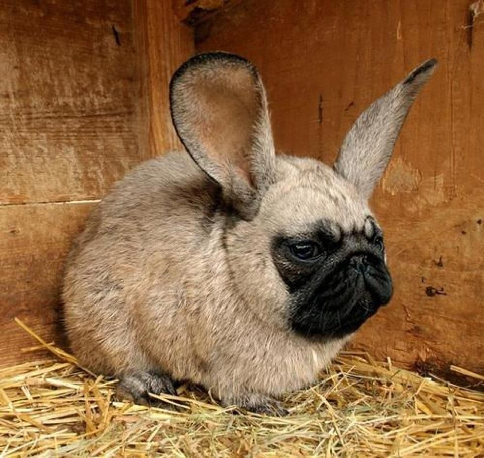 Looks like my French Bulldog has gotten in to the bunny ...
