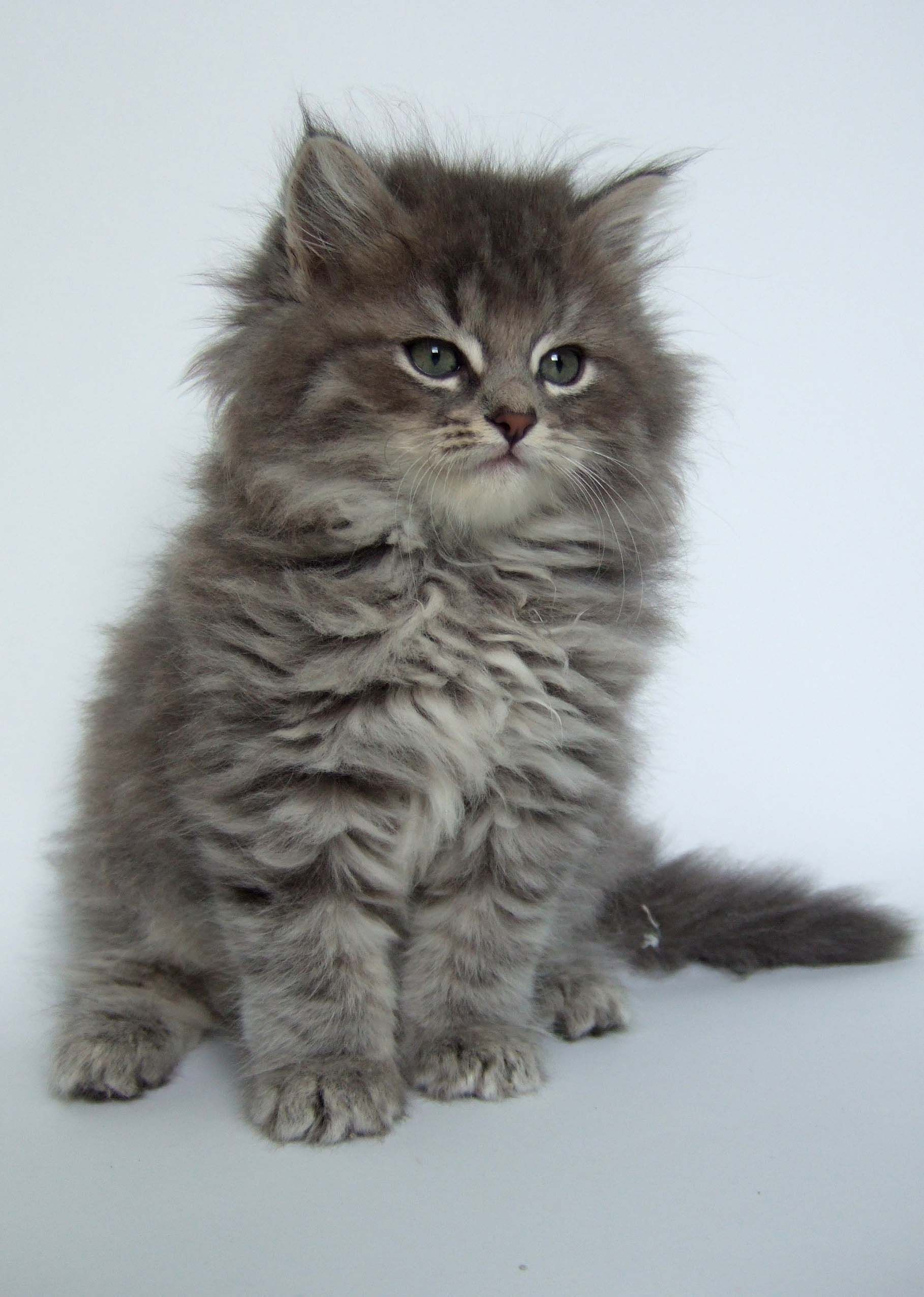 If You Love Cats Take A Look At This To View Further For This Article Visit The Image Link Petcatstips Siberian Kittens Kittens Cutest Pretty Cats