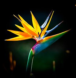 Bird of Paradise... favorite flower